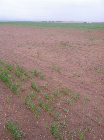 poor winter wheat stand