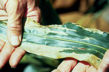 western corn rootworm damage