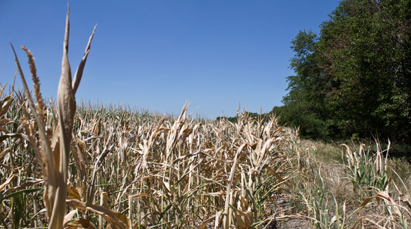 Drought-stricken corn