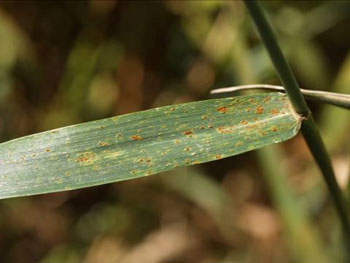 Leaf rust of wheat