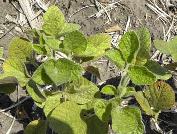 Spider mite damage in soybean