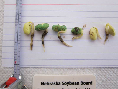 Germinating soybean seeds