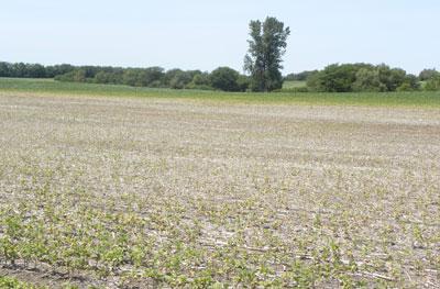 Severe spider mite damage in field