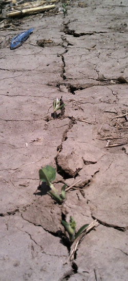 Soybean seedlings in cracked soils