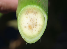 Vascular evidence of Goss's wilt in corn
