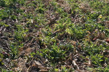Turnip cover crop