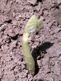 Damaged soybean seedling
