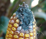 penicillum ear rot in corn