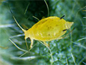 Soybean aphid