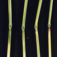 Photo of wheat stem sawfly feeding areas