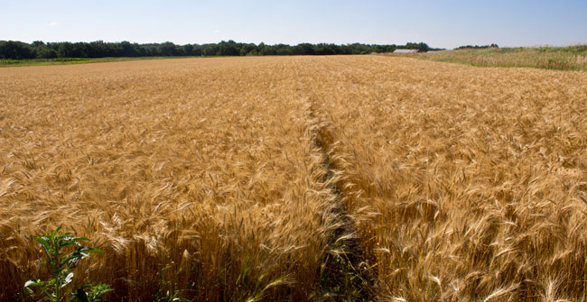 Field of mature wheat