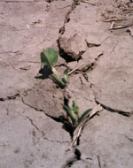 Seeding soybean in cracked soil