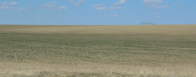 winter wheat in Scottsbluff County, late March 2012