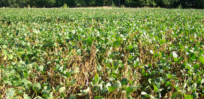 Dead and diseased soybean plants