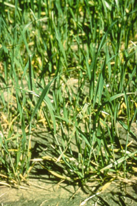 Nitrogen deficiency shown in wheat