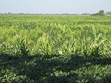Resistant marestail