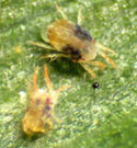 Two-spotted spider mite