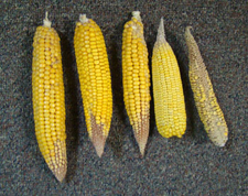 Variance in dryland corn over several weeks