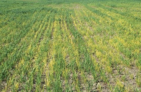 iron deficiency shown in wheat field
