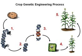 stages of genetic engineering