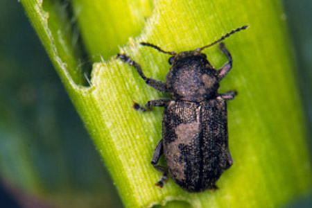 southern corn leaf beetle