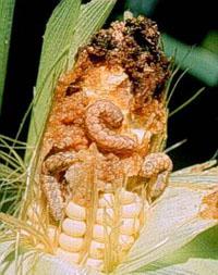 western bean cutworm larva