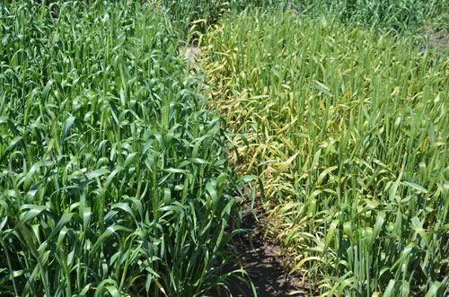 Field comparison of two wheat lines, one resistant to stripe rust and one not