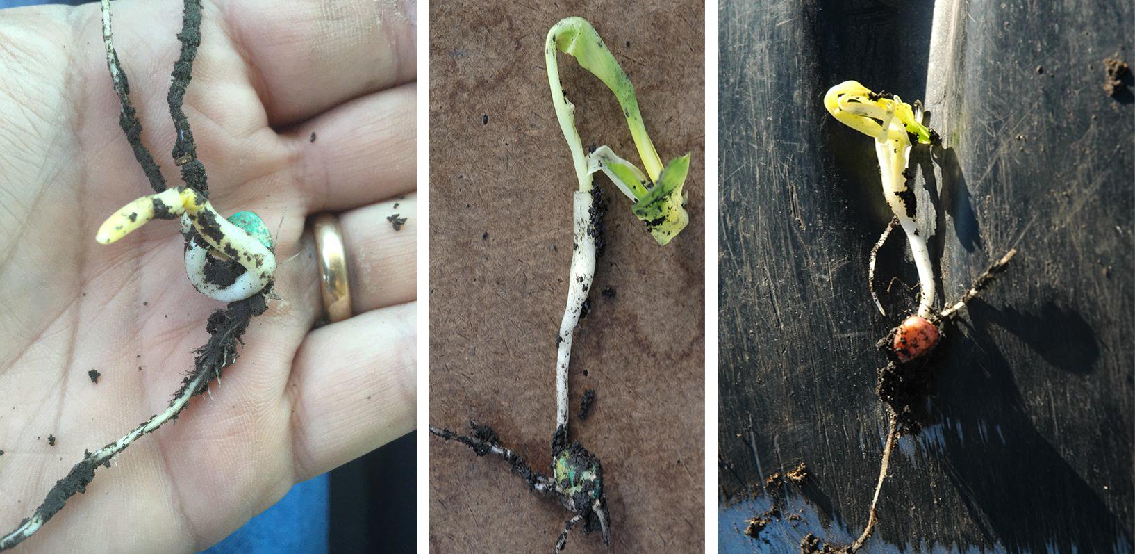 Photo of three types of corn emergence problems