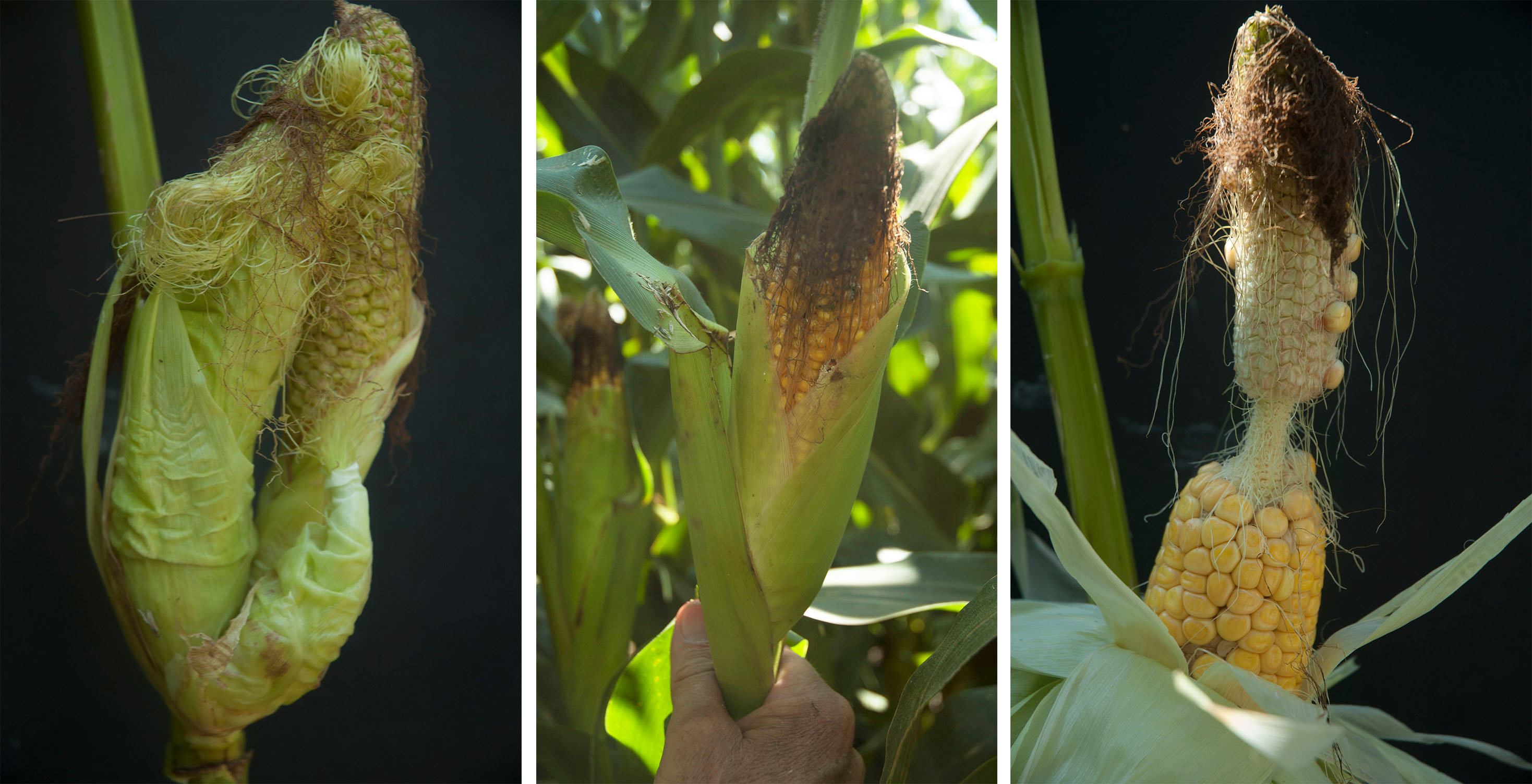 Corn growers from west central to eastern Nebraska are reporting ear formation issues, including (from left) multiple ears per node, short husks on normal length ears, and dumbbell-shaped ears. (Photos by Roger Elmore)