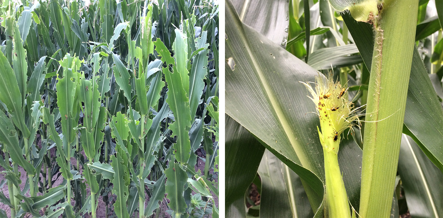 Grasshopper damage (left) and western corn rootworm beetle damage in corn in west central Nebraska. (Photos by Sarah Schlund)