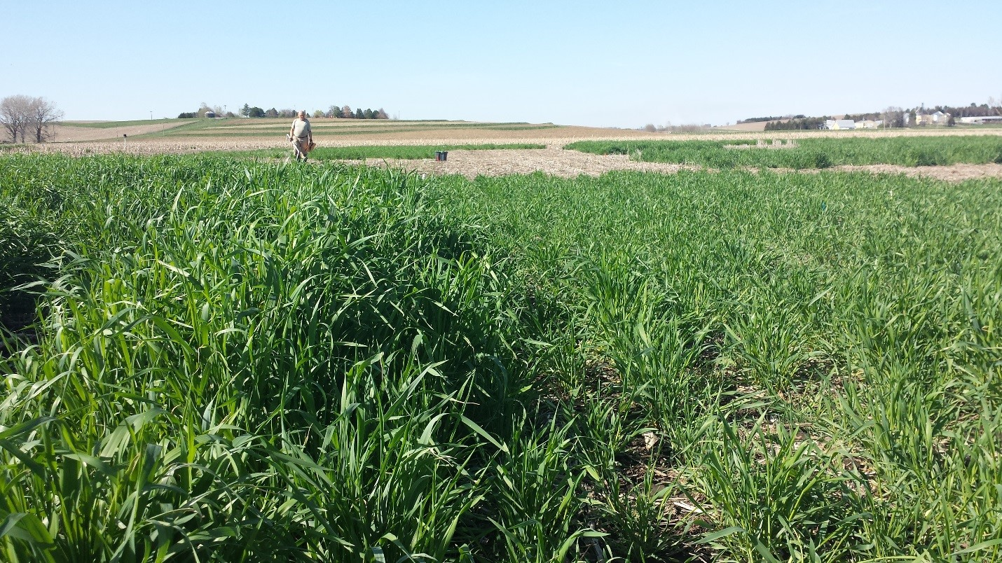 Field comparison of yields of early and late planted rye cover crops