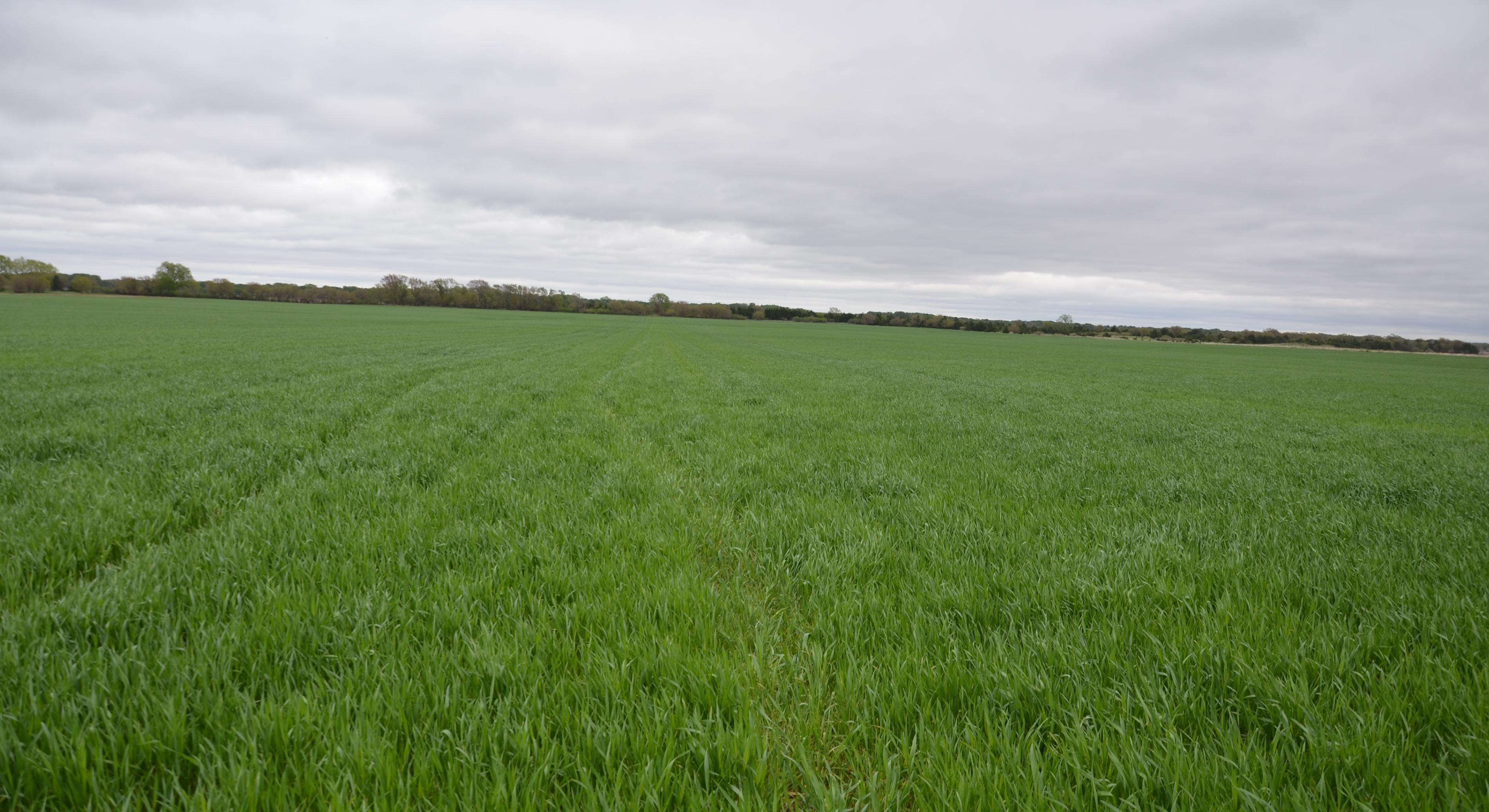 Wheat field in Saline County April 28, 2016