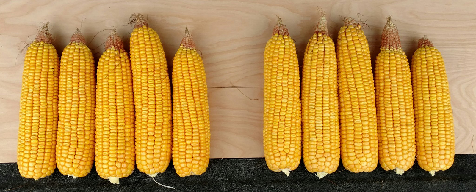Variation in kernel setting in corn in Iowa, one of 10 Corn Belt states for which corn growing conditions and potential yield were modeled by the Yield Forecasting Center (Photo by Mark Licht)