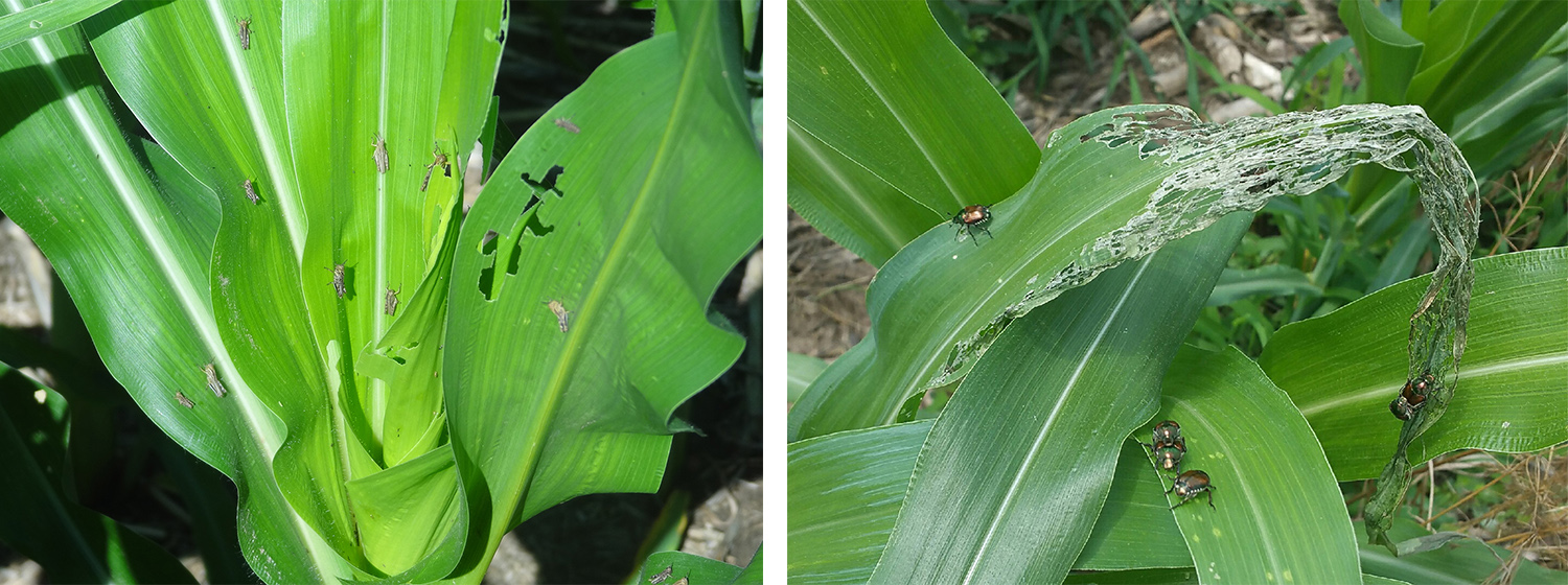 Grasshoppers (immatures here) and Japanese beetles (right) were reported injuring corn this week. Keep scouting and see this week's CropWatch for treatment thresholds and recommendations. (Photos by Paul Jasa and Keith Glewen)