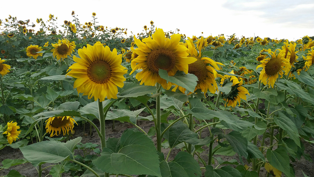 Sunflower field nears harvest at the Panhandle Research and Education Center near Scottsbluff (Photo by Amit Jhala)