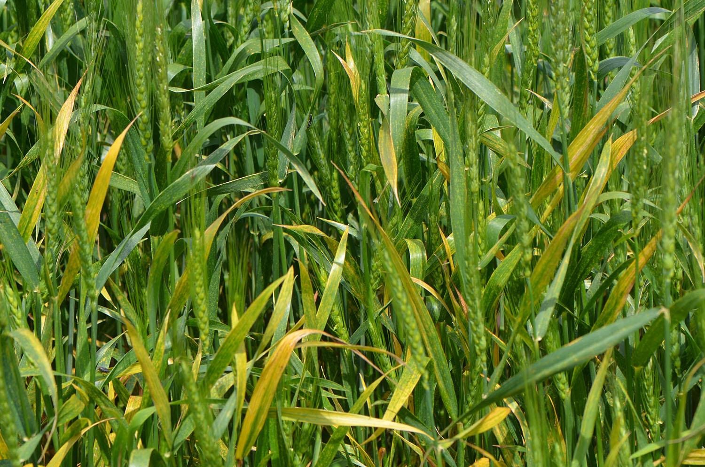 Head Diseases Barley Yellow Dwarf In Wheat Cropwatch