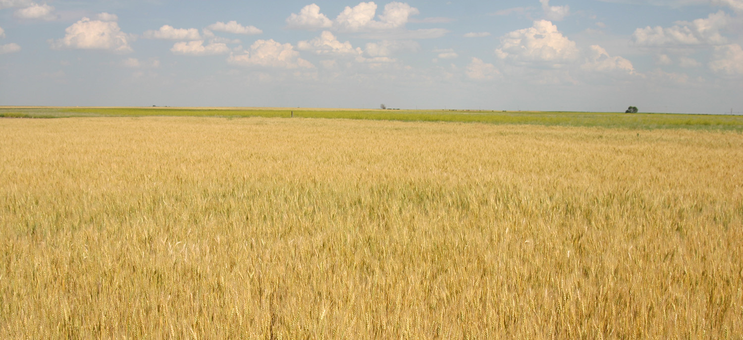After a record-breaking wheat harvest, Nebraska's wheat producers are gearing up for planting. This week's CropWatch focuses on wheat production and protection.