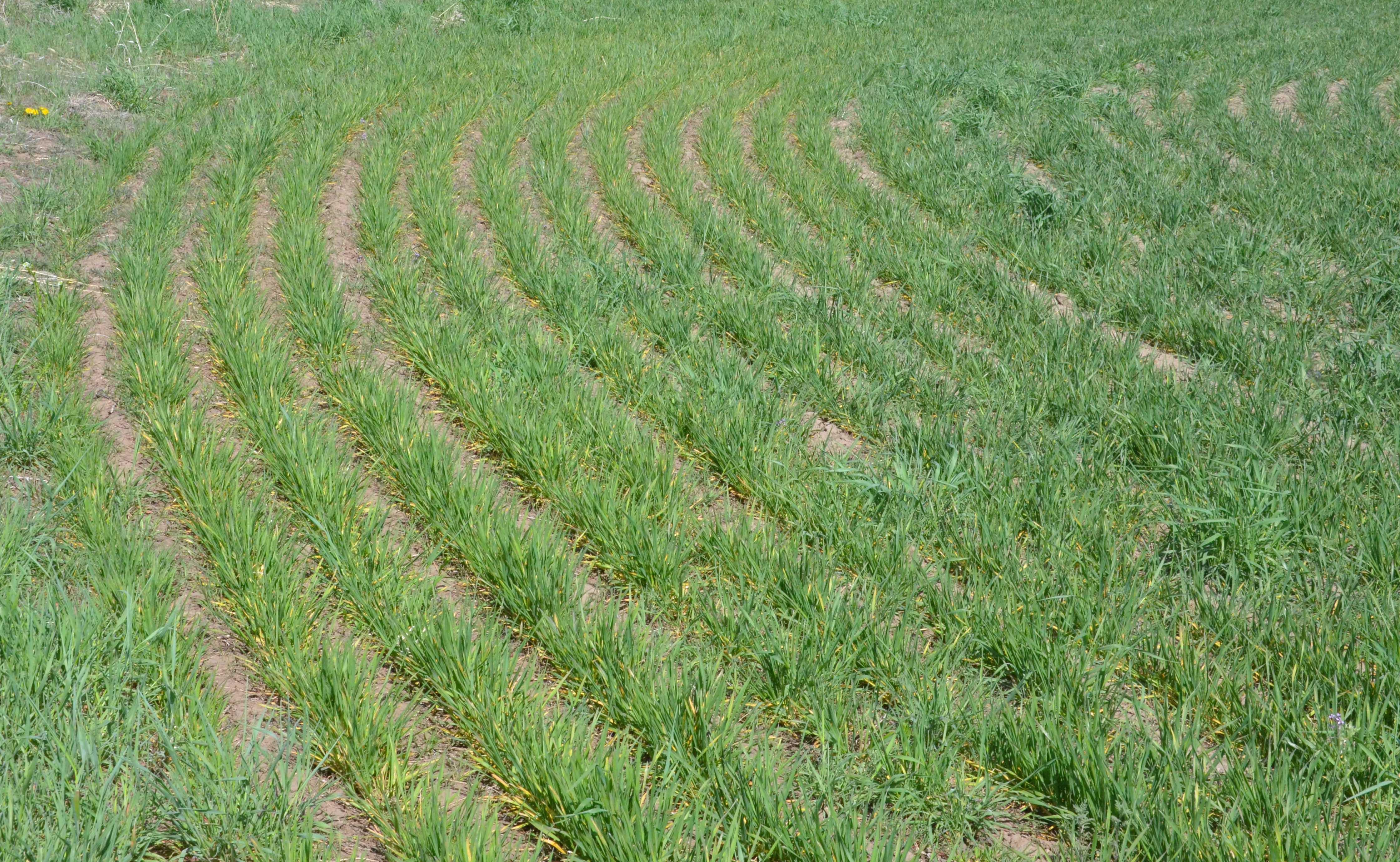 Wheat field (in April) showing symptoms of wheat streak mosaic