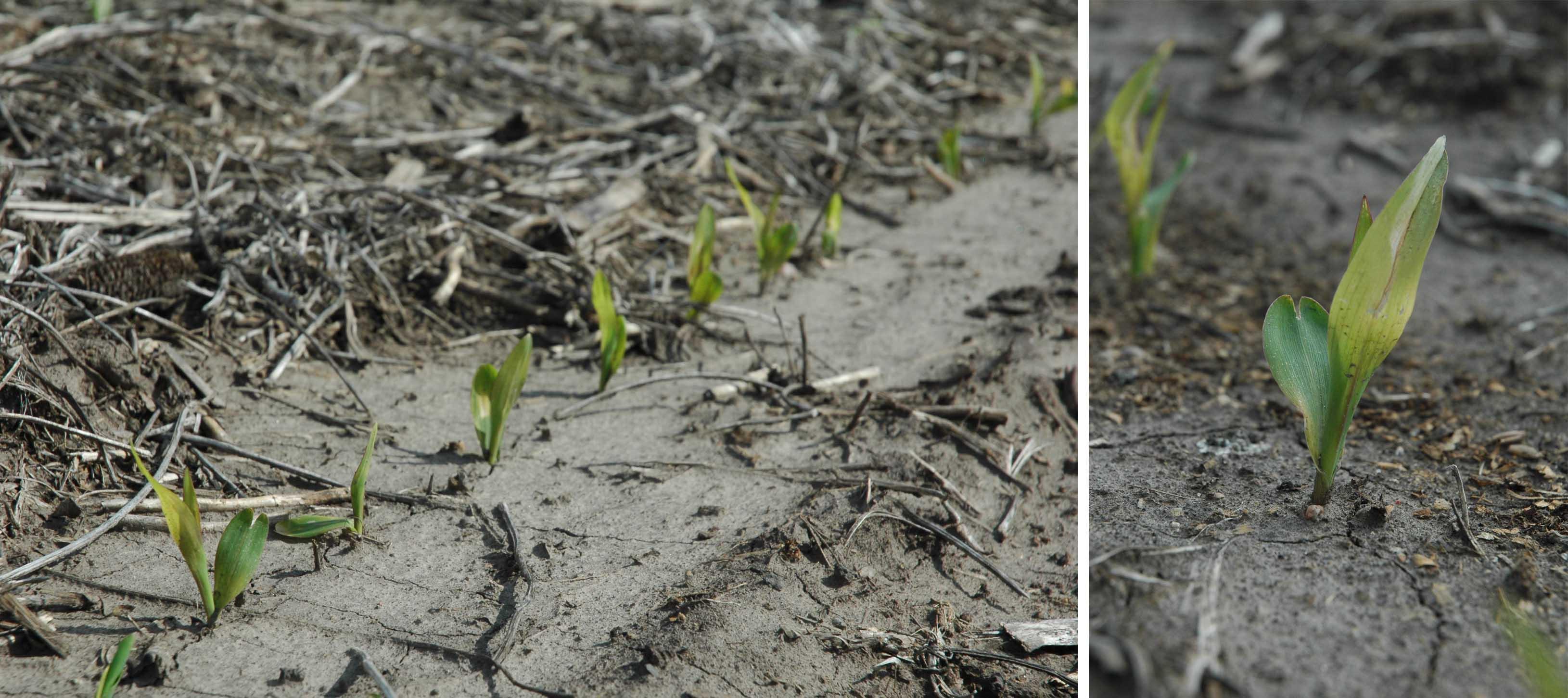 Corn seedlings