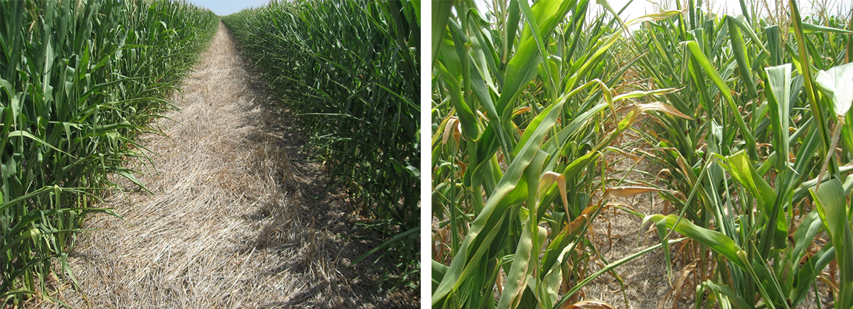Photos of skip-row and standard row corn