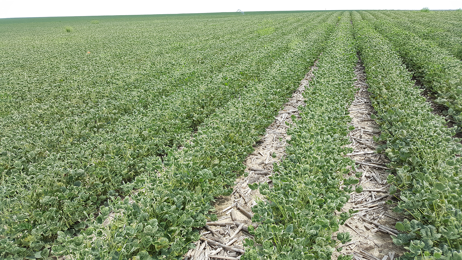 Soybean field injured by dicamba