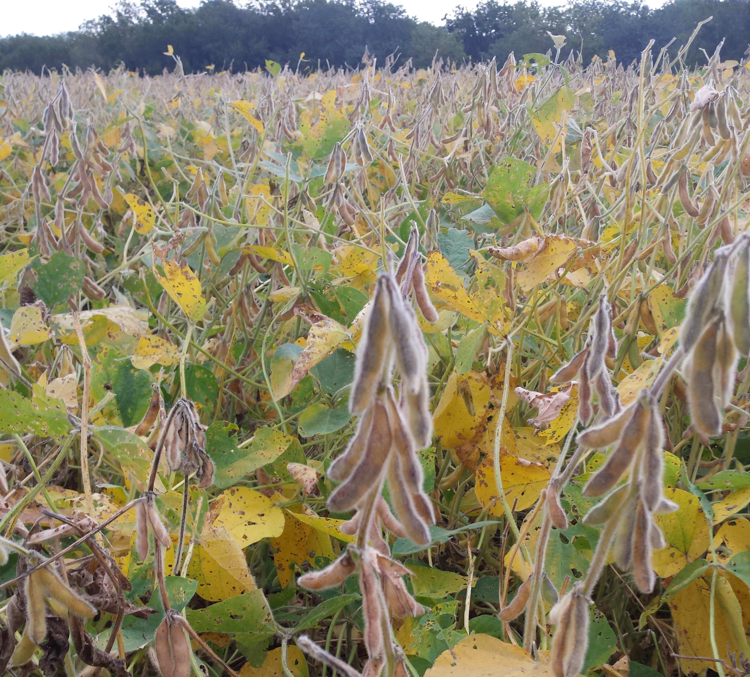 Mature soybean pods but green stems at harvest