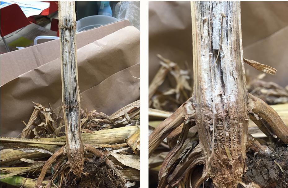 Stalk rots in corn