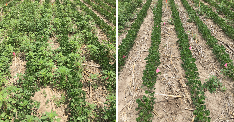 Comparsion of fields with and without residual herbicide