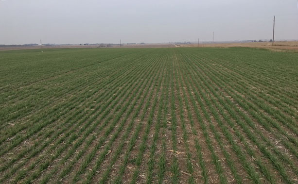 This field of SY Monument wheat was no-till drilled Oct. 15, 2017 into soybean stubble that had been double-cropped to sunflowers. It is farmed by Mark Knoble of Fairbury and will be the site of a Nebraska Extension Wheat Variety Trial field day later this summer. (Photo by Randy Pryor)