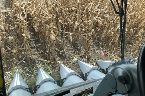 A view from the combine while harvesting corn in an NCR SARE on-farm research project. The project, Using a Drone with a Sensor to Manage Nitrogen Fertilizer Application in Corn, was conducted in southeast Nebraska this year. (Photo by Gary Lesoing)