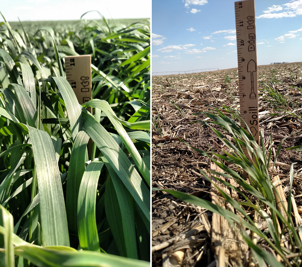 Affect Spring Cover Crop Growth