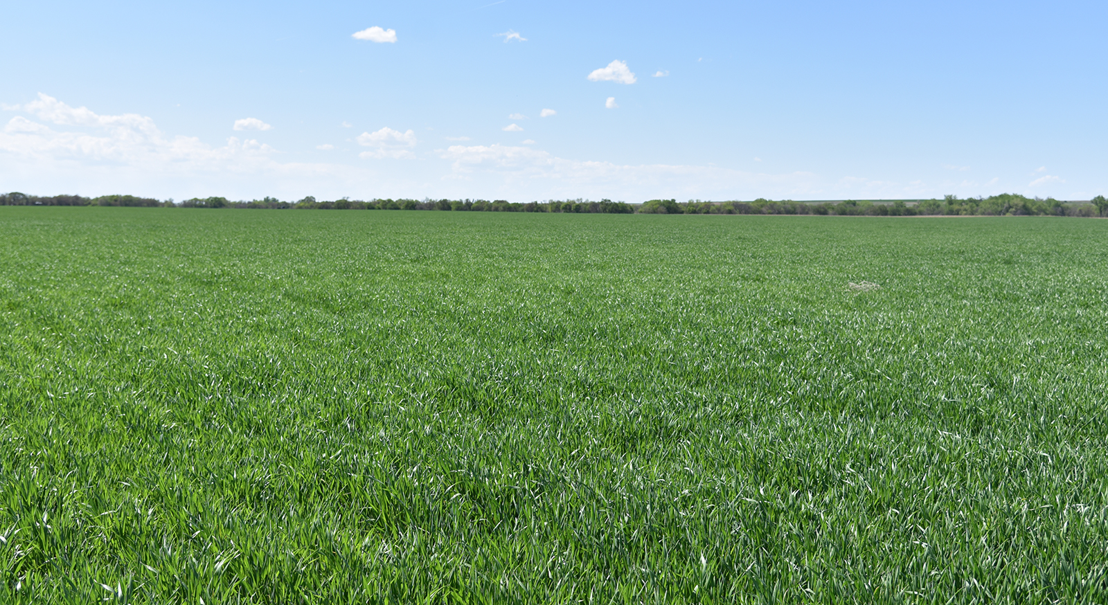 Wheat field in Red Willow County