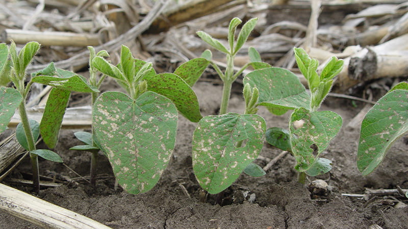 Frost injury on soybean seedlings.