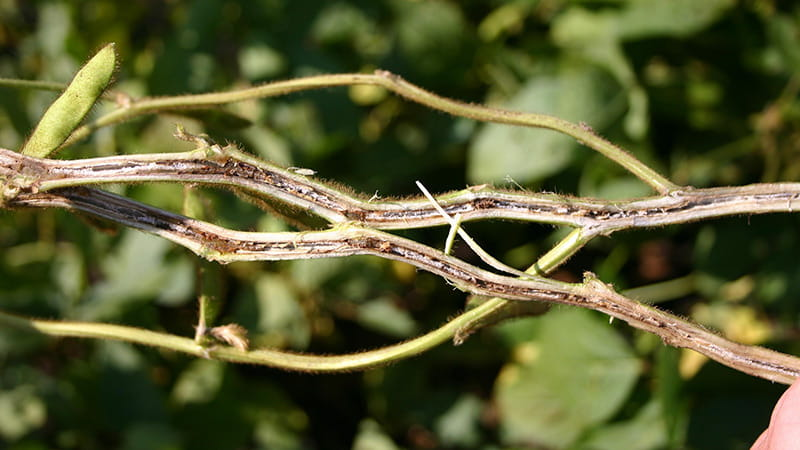 Split soybean stem infected with brown stem rot. Photo Courtesyof Martin Draper, USDA-NIFA, Bugwood.org